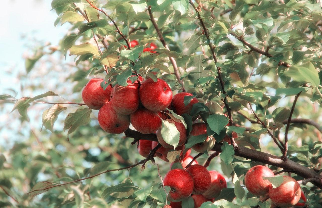 Стрижка плодовых деревьев. ветка яблони с яблоками