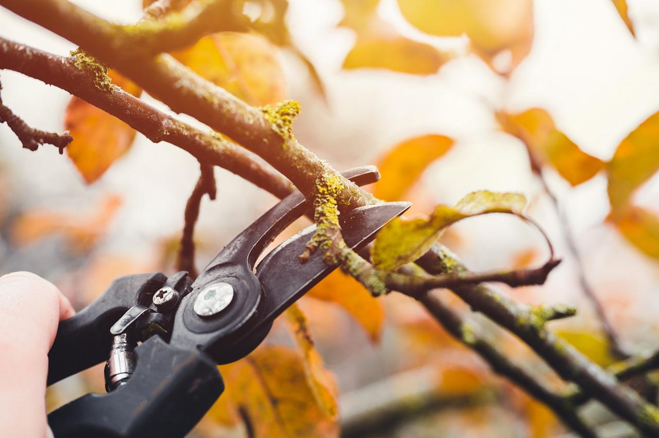 Стрижка плодовых деревьев. ветка яблони